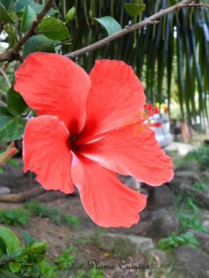 Copie de hibiscus1